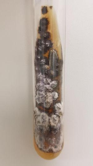 Cultura da secreção ocular em ágar Sabouraud, com crescimento de colônia filamentosa preta e branca.